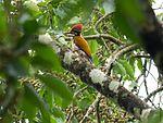 Flameback Woodpecker (28377251513).jpg