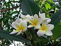 Fleurs de frangipanier.jpg