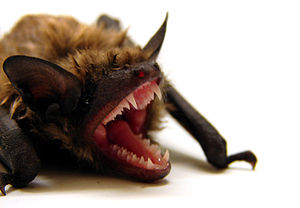 Magnetoreception - Several mammals, including the big brown bat (Eptesicus fuscus) can use magnetic fields for orientation.