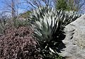 Flickr - brewbooks - Agave palmeri.jpg