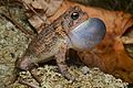 Flickr - ggallice - Southern toad looking for love.jpg
