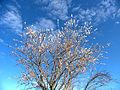 Flor de Almendro avisando de la Primavera. Benagéber (Alto Turia, Valencia, Spain, Marzo 2013).jpg