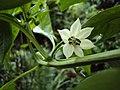 Flor de pimentão - panoramio.jpg