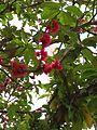 Flores do jambeiro vermelho.jpg