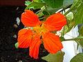 Flors de cotoner 008.JPG