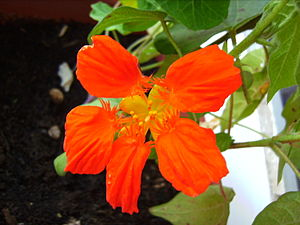 English: Tropaeolum sp flower around a cotton ...
