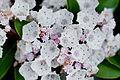 Flower, Kalmia - Flickr - nekonomania.jpg