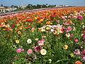 Flower feld 18.jpg