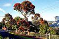 Flowering Gum Tree. (16439672775).jpg