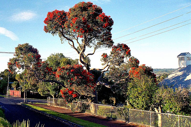File:Flowering Gum Tree. (16439672775).jpg
