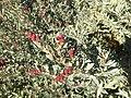 Flowering Saltbush..jpg