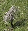 Flowering apple tree - Çiçekli elma ağacı.jpg
