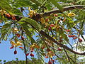 Flowering tamarind (8174970411).jpg
