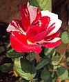 Flowers - Uncategorised Garden plants 251.JPG