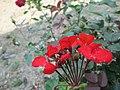 Flowers in Monsoon 30.JPG