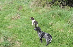 Gun dog - An English Springer Spaniel (Liver and White) and English Cocker Spaniel (Blue Roan)