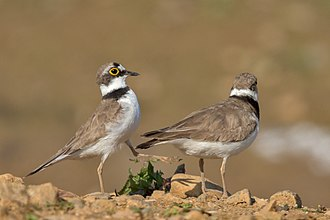 Little ringed plover - Mating, the male birds hits the cloaca of the female bird