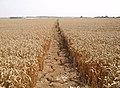 Footpath across a field - geograph.org.uk - 215093.jpg
