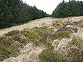 Forestry fire break - geograph.org.uk - 734049.jpg