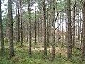 Forestry on Benn Head - geograph.org.uk - 1089139.jpg
