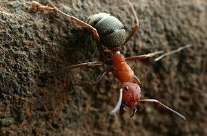 Formica - F. integroides worker