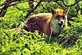 Fox (18964012208).jpg
