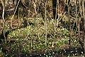 Frühlings-Knotenblume, Leucojum vernum 53.JPG