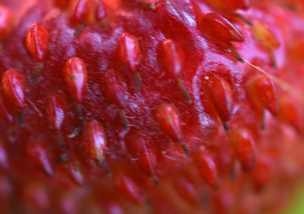 fraisier nom latin