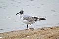 Franklin's Gull (Leucophaeus pipixcan) (15367124210).jpg