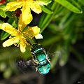 Friendly Green Orchid Bee (8474867435).jpg