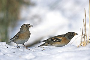 Brambling - Male and female in Poland