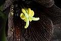 Fritillaria camschatcensis (L.) Ker Gawl., Bot. Mag. 30 t. 1216 (1809) (49973677408).jpg