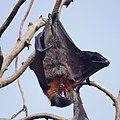 Fruit bat (flying fox) (36671860786).jpg