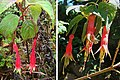 Fuchsia splendens, the Chili Pepper Fuchsia. (9540399926).jpg