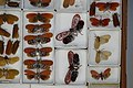 Fulgoridae Drawers - 5036080381.jpg