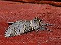 Furcula furcula - Sallow kitten - Гарпия ивовая (41138010241).jpg