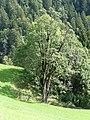 Götzis, Bergahorn Naturdenkmal 108.jpg