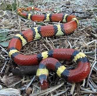 Frequency-dependent selection - Harmless scarlet kingsnake mimics the coral snake, but its pattern varies less where the coral snake is rare.