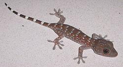 G gecko 060517 6167 trij.jpg