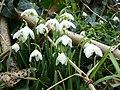 Galanthus nivalis f. pleniflorus 2 - geograph.org.uk - 1165822.jpg