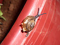 Garden Snail at Nizampet 01.jpg