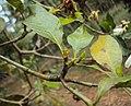 Gardenia gummifera 21.JPG