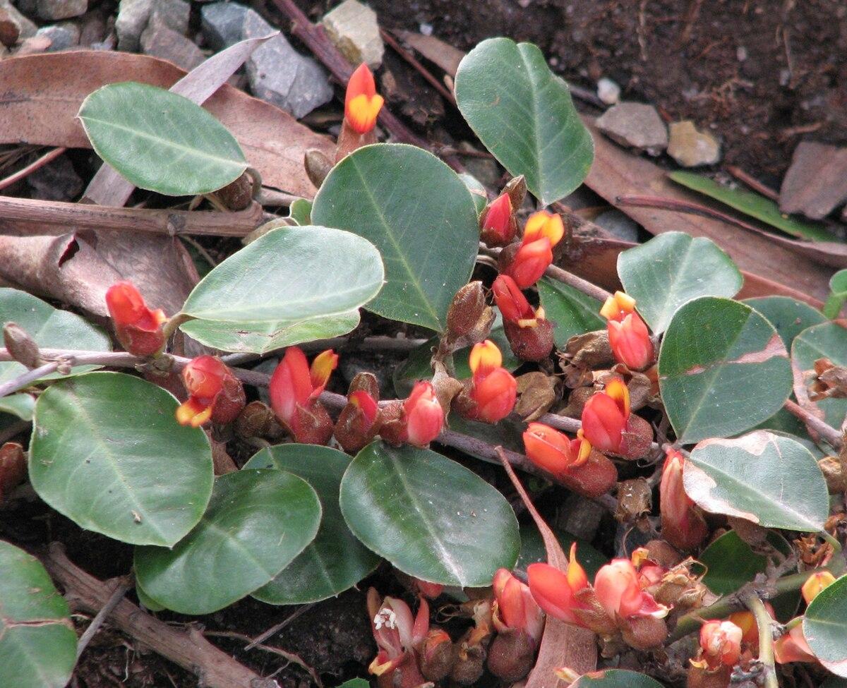 prostrate shrub - wikipedia