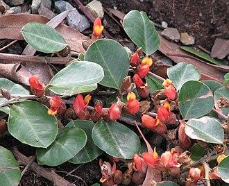 Prostrate shrub - Gastrolobium minus, a prostrate shrub native to Western Australia, popular in horticulture