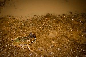 Gastrotheca - Gastrotheca litonedis
