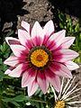 Gazania flower 002.jpg