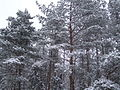 Gdynia - zaśnieżone drzewa - 003.JPG
