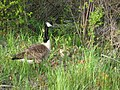 Geese and baby geese - panoramio.jpg