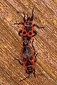 Gemeine Feuerwanze Pyrrhocoris apterus Paarung.jpg