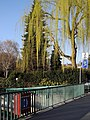 General-Guisan-Quai - Salix × sepulcralis 2012-03-28 18-17-39 (P7000).jpg